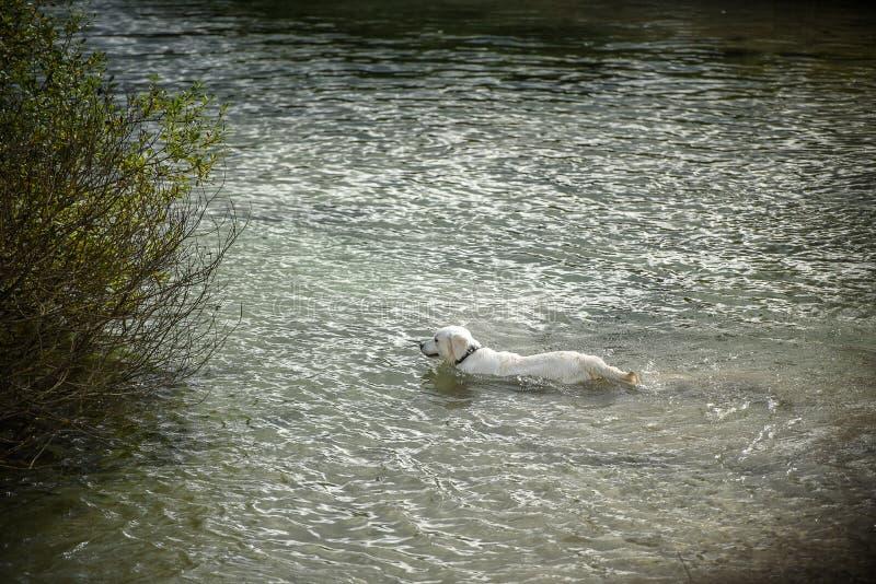 Το άσπρο μεγάλο σκυλί κολυμπά στον ποταμό στοκ εικόνα με δικαίωμα ελεύθερης χρήσης