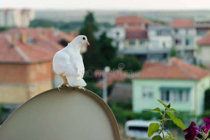 Το άσπρο περιστέρι κάθεται υψηλό στο μπαλκόνι και εξετάζει τις στέγες των κτηρίων χαμηλός-ανόδου Κλείστε επάνω το πορτρέτο ενός α στοκ εικόνες