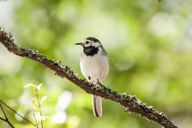 Το άσπρο πουλί wagtail κάθεται στον κλάδο δέντρων στοκ εικόνες