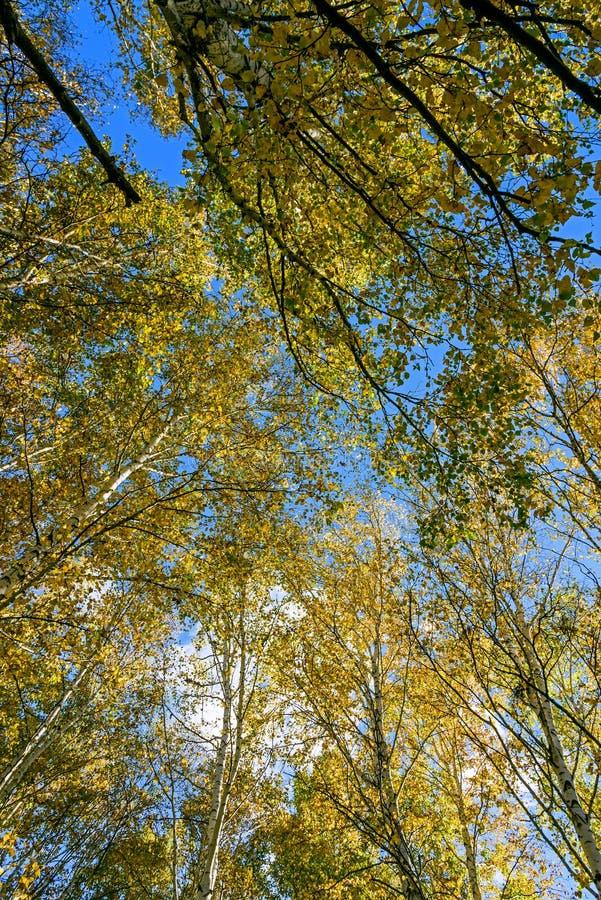 Το άσπρο τοπίο φθινοπώρου σημύδων στοκ εικόνες