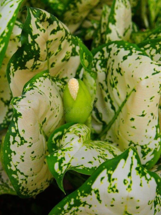 Το άσπρο φύλλο είναι ανθίζοντας στον κήπο στοκ εικόνα με δικαίωμα ελεύθερης χρήσης