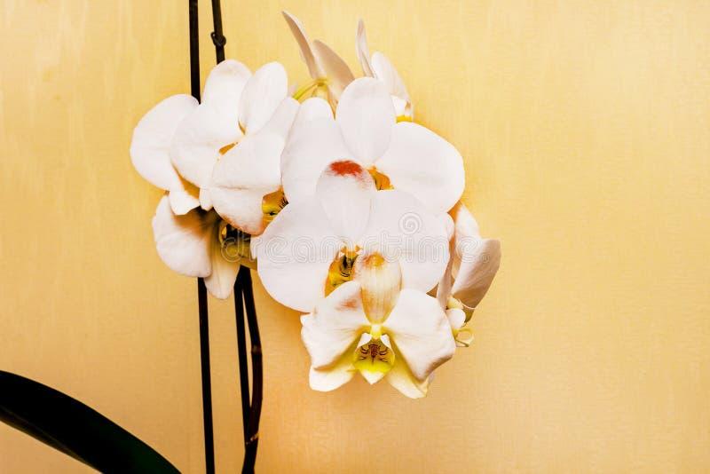 Το άσπρο όμορφο λουλούδι ορχιδεών, κινηματογράφηση σε πρώτο πλάνο, αγοράζει και πωλεί orchid_ στοκ φωτογραφία με δικαίωμα ελεύθερης χρήσης