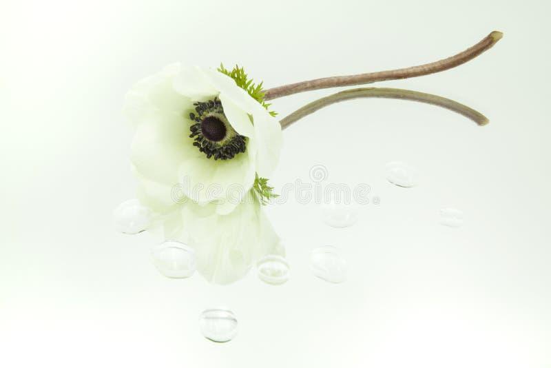 Το άσπρο anemone απεικόνισε στον καθρέφτη οριζόντια με τις πτώσεις του νερού στο άσπρο υπόβαθρο στοκ εικόνες