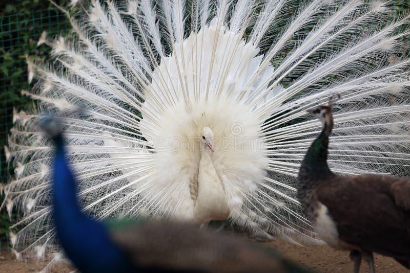 Το άσπρο peacock ανοικτό προσελκύει το αντίθετο φύλο στοκ φωτογραφία με δικαίωμα ελεύθερης χρήσης