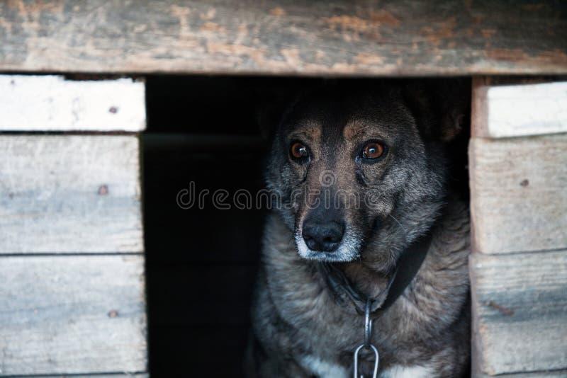 Το άστεγο γκρίζο σκυλί σε μια αλυσίδα κρυφοκοιτάζει έξω από το θάλαμο στοκ φωτογραφίες με δικαίωμα ελεύθερης χρήσης
