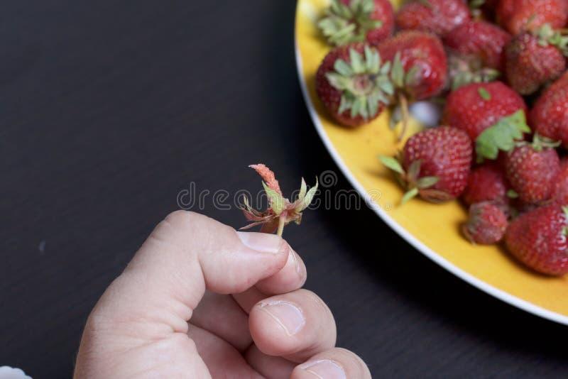 Το άτομο κρατά τη φράουλα στο χέρι του Κρατά το χέρι της σε ένα πιάτο των φραουλών Επόμενο πιάτο με τα βερίκοκα και το μήλο στοκ εικόνες