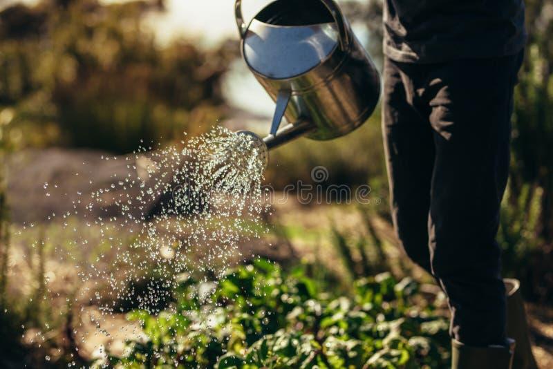 Το άτομο ποτίζει τα λαχανικά με το ψέκασμα μπορεί στο αγρόκτημα στοκ φωτογραφία με δικαίωμα ελεύθερης χρήσης