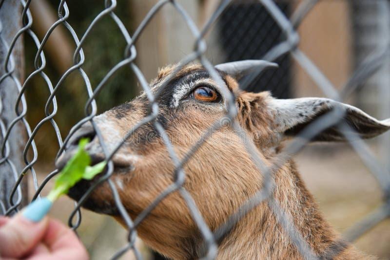 Το άτομο ταΐζει την αίγα σε ένα κλουβί στο ζωολογικό κήπο στοκ εικόνες