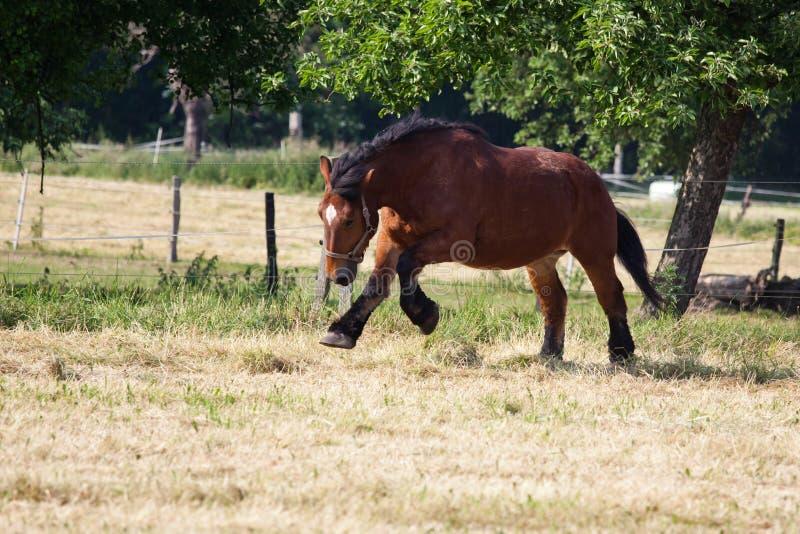 Το άλογο κάρρων των Αρδεννών παίρνει στο τρέξιμο στοκ εικόνα με δικαίωμα ελεύθερης χρήσης