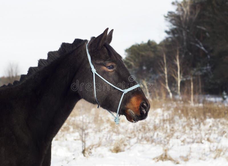 Το άλογο στέκεται στο χιόνι σε ένα υπόβαθρο του δάσους πεύκων το χειμώνα στοκ εικόνες
