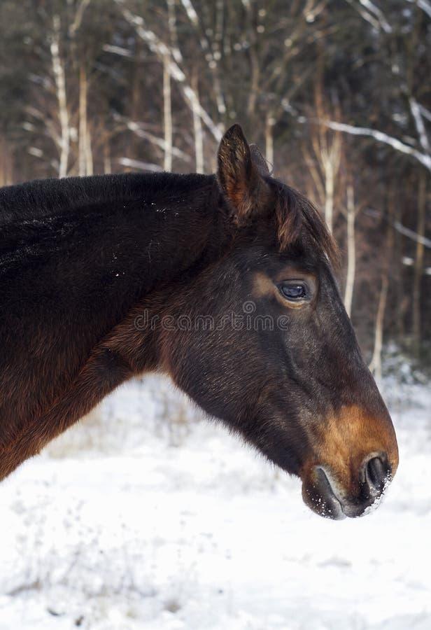 Το άλογο στέκεται στο χιόνι σε ένα υπόβαθρο του δάσους πεύκων το χειμώνα στοκ εικόνες με δικαίωμα ελεύθερης χρήσης
