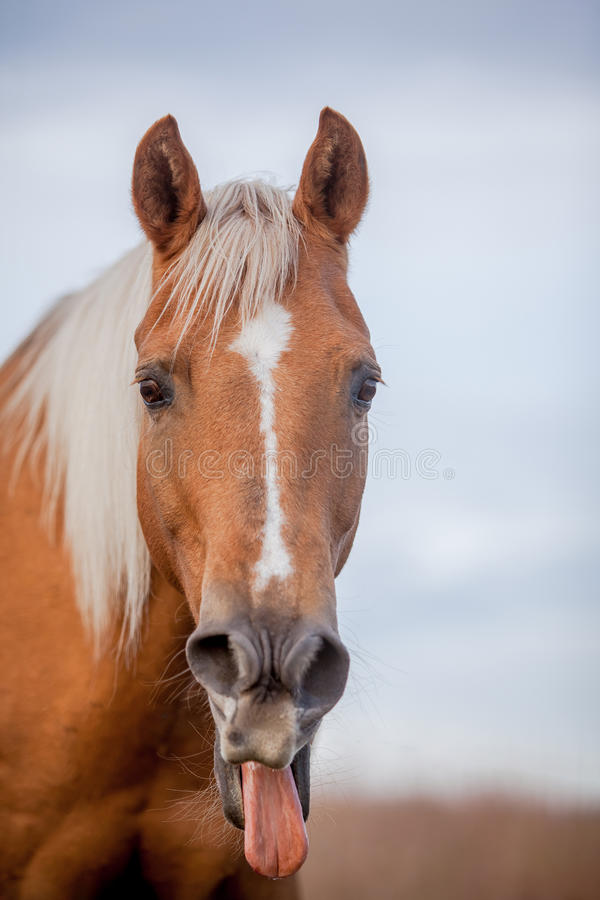 Το άλογο Palomino κολλά έξω τη γλώσσα στοκ εικόνες