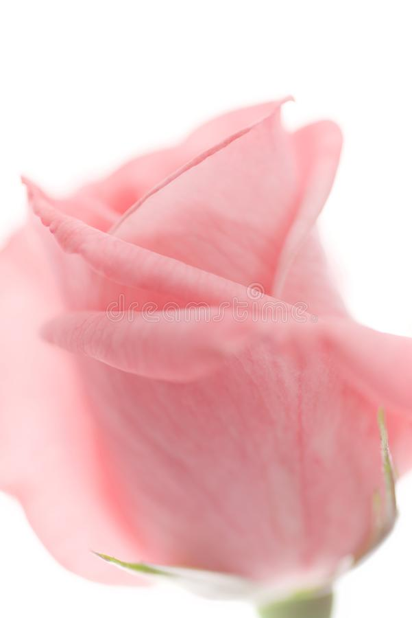 Το ένα χλωμιάζει - ρόδινος αυξήθηκε κινηματογράφηση σε πρώτο πλάνο ανθών λουλουδιών και μαλακή εστίαση που απομονώθηκαν στο άσπρο στοκ φωτογραφίες με δικαίωμα ελεύθερης χρήσης