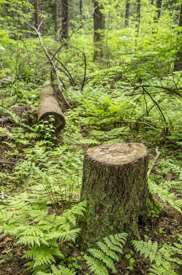 Το δέντρο έχει περιορίσει στο δασικό πάρκο, αποδάσωση Ο ομο στοκ φωτογραφίες