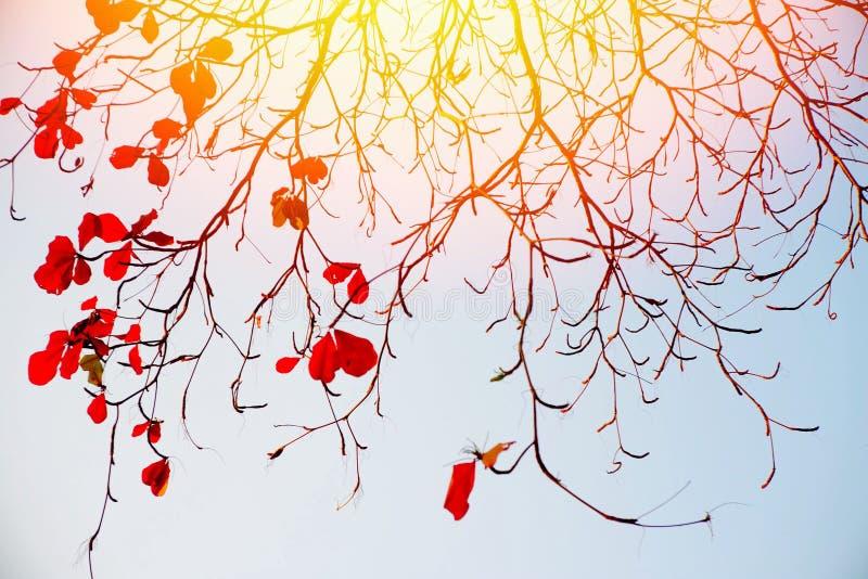 Το δέντρο διακλαδίζεται κόκκινο βγάζει φύλλα στοκ εικόνα