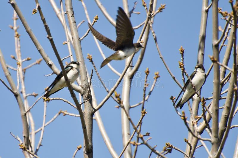Το δέντρο καταπίνει την προσγείωση σε ένα δέντρο στοκ εικόνα με δικαίωμα ελεύθερης χρήσης