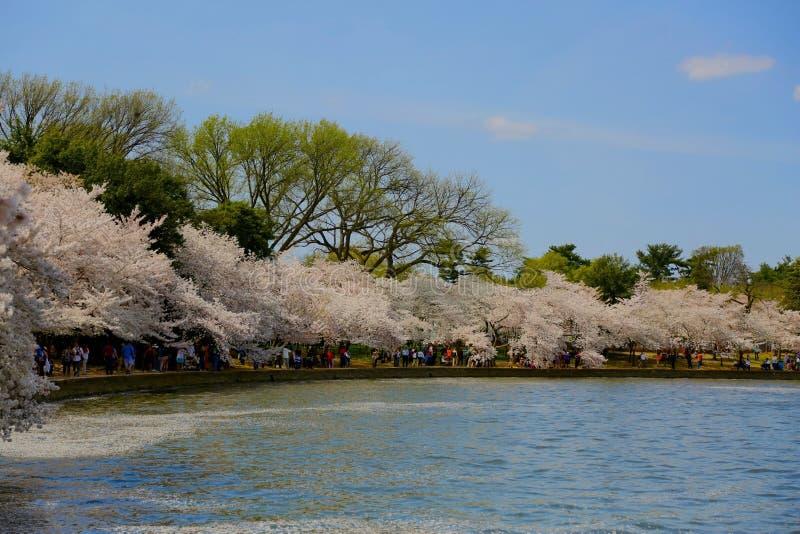 Το δέντρο κερασιών ανθίζει παλιρροιακή λεκάνη Washington DC στοκ εικόνα με δικαίωμα ελεύθερης χρήσης