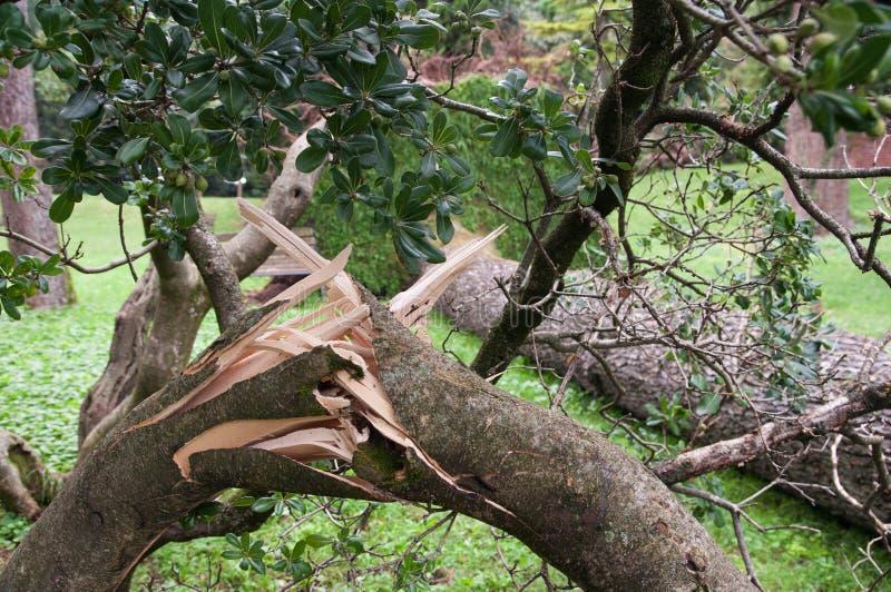Το δέντρο ξερίζωσε και έπεσε μετά από τη θύελλα στοκ εικόνα με δικαίωμα ελεύθερης χρήσης