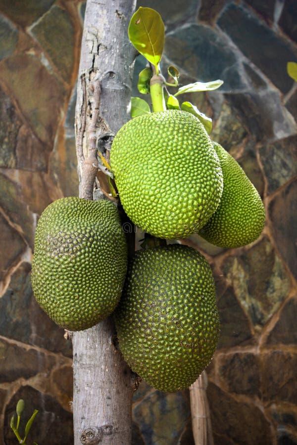Το δέντρο Jackfruit στοκ φωτογραφία με δικαίωμα ελεύθερης χρήσης