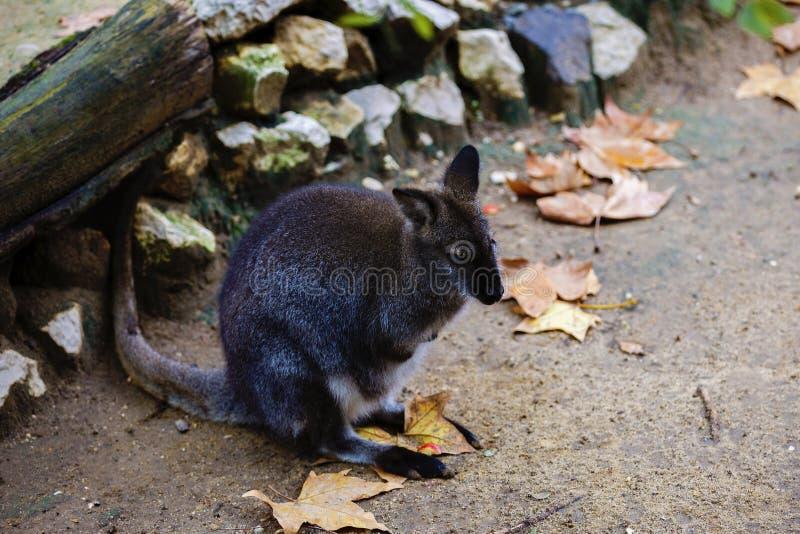 Το έλος wallaby, Wallabia δίχρωμο, είναι ένα μικρό macropod marsupial ο στοκ εικόνες
