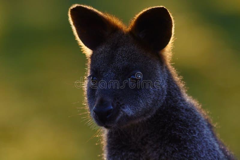 Το έλος wallaby, Wallabia δίχρωμο, είναι μικρό marsupial macropod της ανατολικής Αυστραλίας, αυτό το καγκουρό είναι επίσης συνήθω στοκ φωτογραφία με δικαίωμα ελεύθερης χρήσης