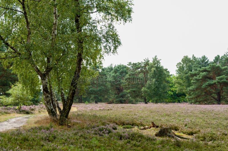 Το ίχνος, οι σημύδες, τα πεύκα, η ερείκη και ένα δέντρο περπατούν βαριά σε Fischbeker Heide στοκ εικόνες με δικαίωμα ελεύθερης χρήσης