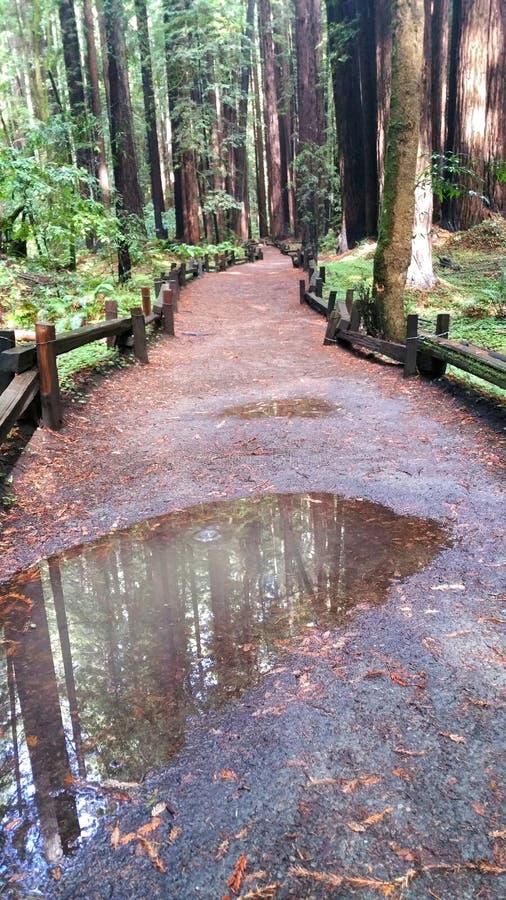 Το ίχνος πεζοπορίας μέσω των δασικών βρεγμένων βροχή λακκουβών Redwood απεικονίζει τον ουρανό, τα σύννεφα και τα δέντρα Υπόβαθρο στοκ φωτογραφία με δικαίωμα ελεύθερης χρήσης