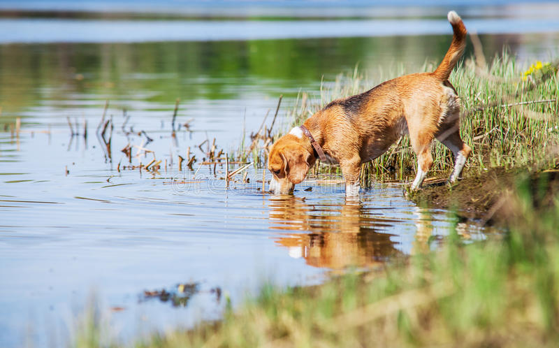 Το λαγωνικό πίνει το νερό από τη δασική λίμνη στοκ φωτογραφία