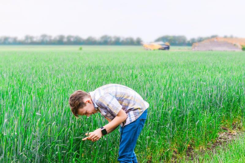 Το αγόρι κλίνει πέρα από τον πράσινο σίτο εκμετάλλευσης με τα χέρια του, ο μελλοντικός γεωπόνος μελετά τη γεωργία για να κάνει επ στοκ φωτογραφία με δικαίωμα ελεύθερης χρήσης