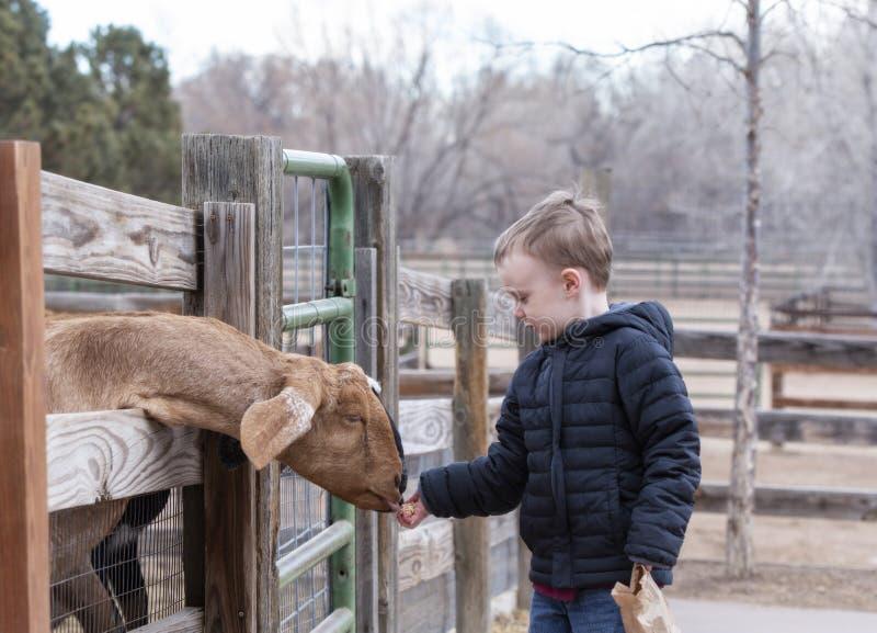 Το αγόρι μικρών παιδιών ταΐζει μια αίγα σε ένα αστικό αγρόκτημα στοκ φωτογραφία με δικαίωμα ελεύθερης χρήσης