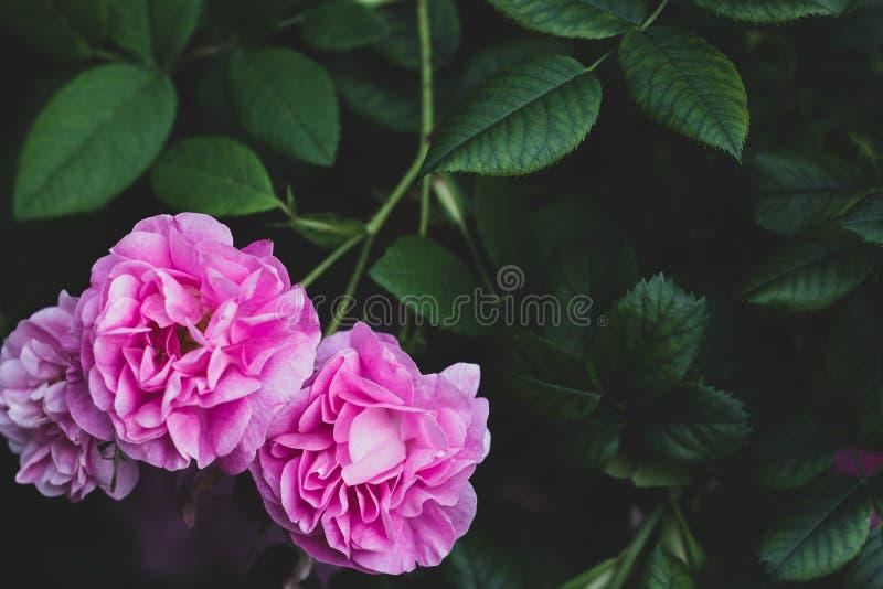 Το αδιάβροχο του Charles Rennie αυξήθηκε στο σκούρο πράσινο θολωμένο υπόβαθρο Θάμνος λουλουδιών στον κήπο με τα πράσινα φύλλα στοκ φωτογραφίες με δικαίωμα ελεύθερης χρήσης