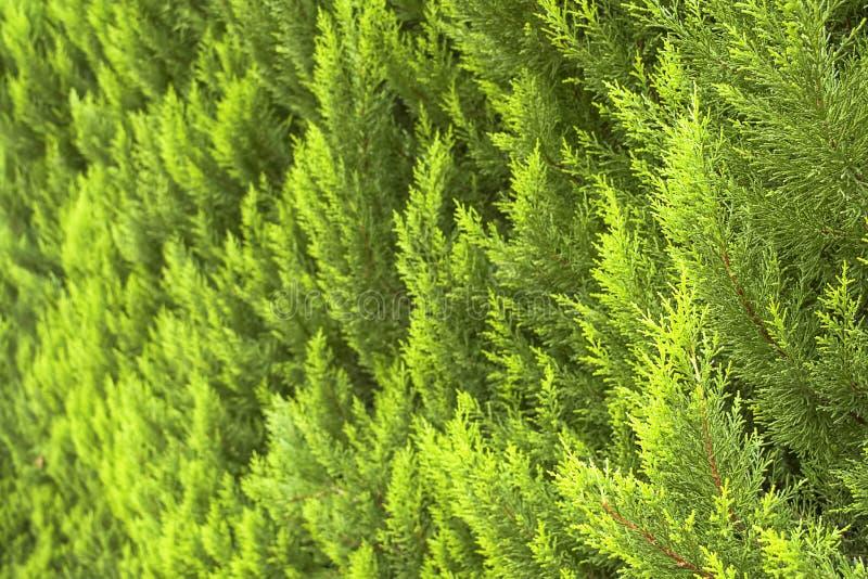 Το αειθαλές δέντρο thuja διακλαδίζεται κινηματογράφηση σε πρώτο πλάνο Ανασκόπηση και σύσταση στοκ εικόνα με δικαίωμα ελεύθερης χρήσης