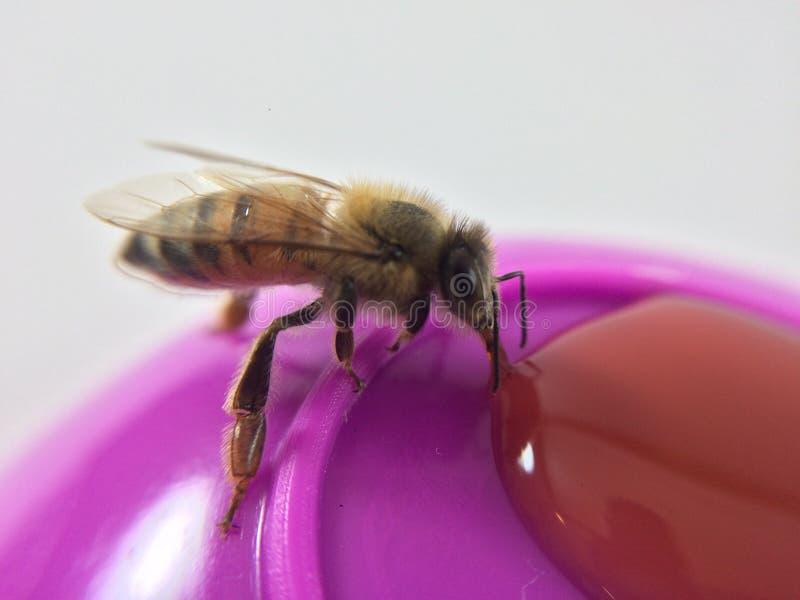 Το ακραίο En κινηματογραφήσεων σε πρώτο πλάνο μια μέλισσα μελιού στοκ φωτογραφίες