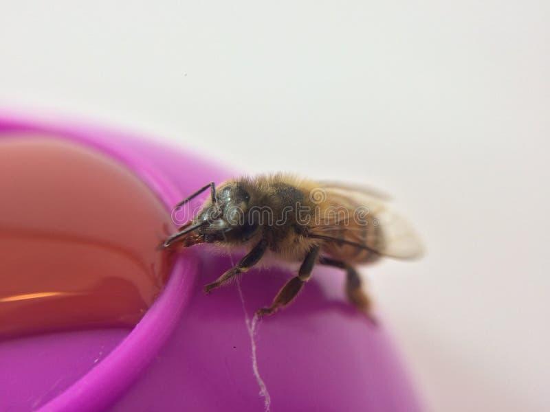 Το ακραίο En κινηματογραφήσεων σε πρώτο πλάνο μια μέλισσα μελιού στοκ εικόνες