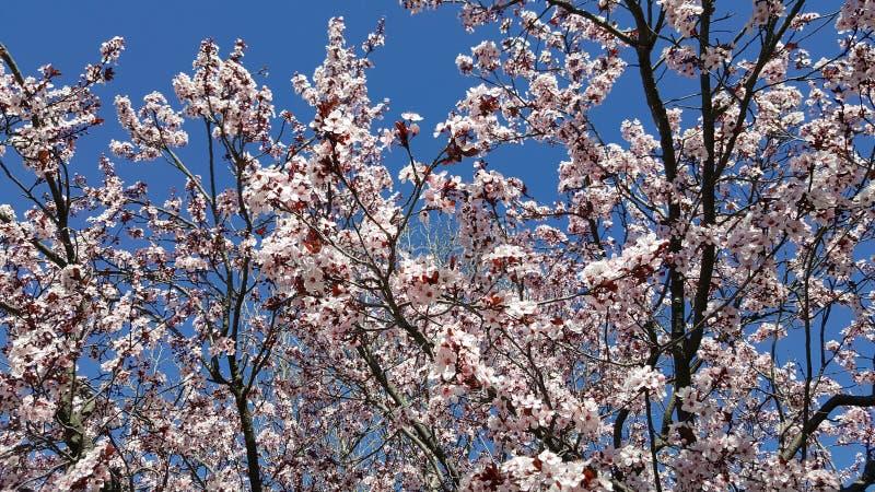 το αμύγδαλο ανθίζει λευκό δέντρων λουλουδιών ανθίσματος κερασιών ίσως στοκ εικόνα με δικαίωμα ελεύθερης χρήσης
