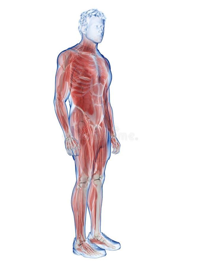 Το ανδρικό σύστημα μυών διανυσματική απεικόνιση