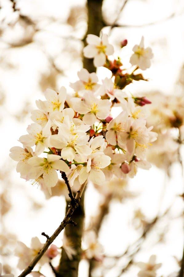 Το ανθίζοντας άσπρο μήλο παραδείσου ανθίζει την άνοιξη στοκ φωτογραφίες με δικαίωμα ελεύθερης χρήσης