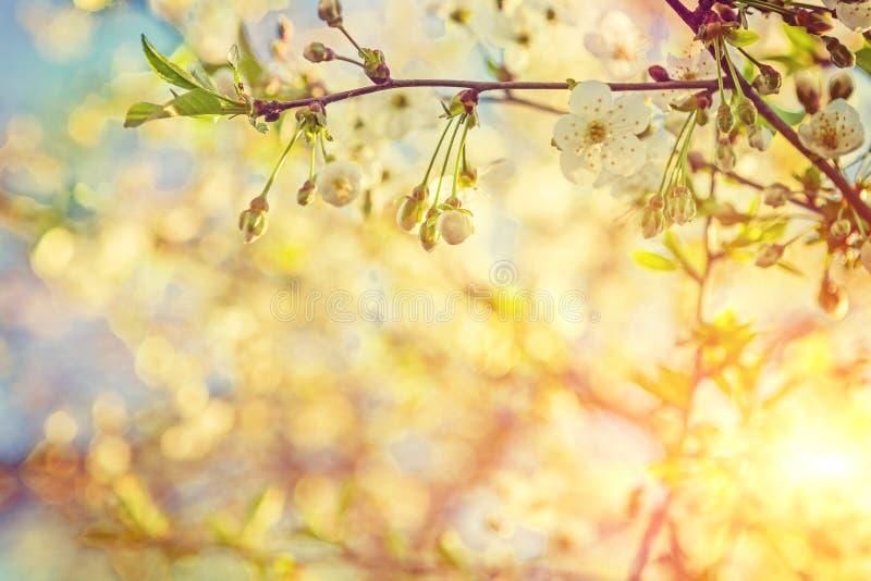 Το ανθίζοντας δέντρο κερασιών κοντά επάνω βλέπει το μικρό κλάδο του OM θολωμένος στοκ εικόνα με δικαίωμα ελεύθερης χρήσης