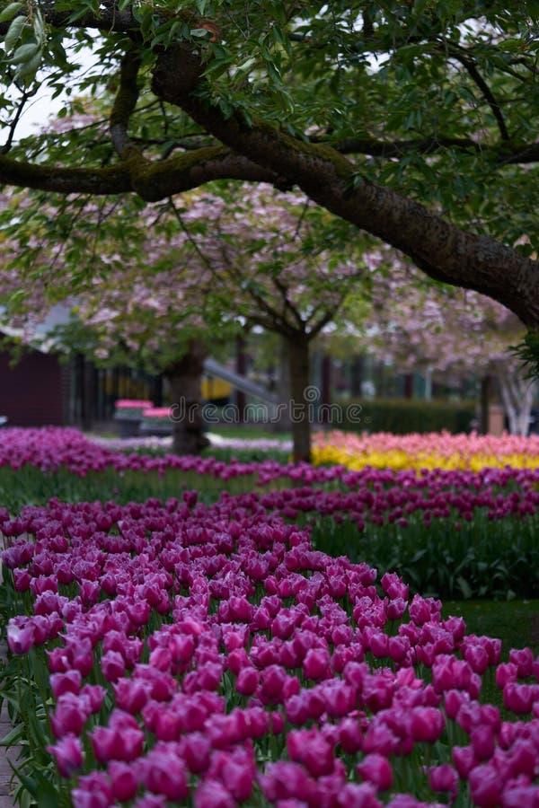 Το ανθίζοντας δέντρο κερασιών στο πάρκο στοκ φωτογραφία με δικαίωμα ελεύθερης χρήσης