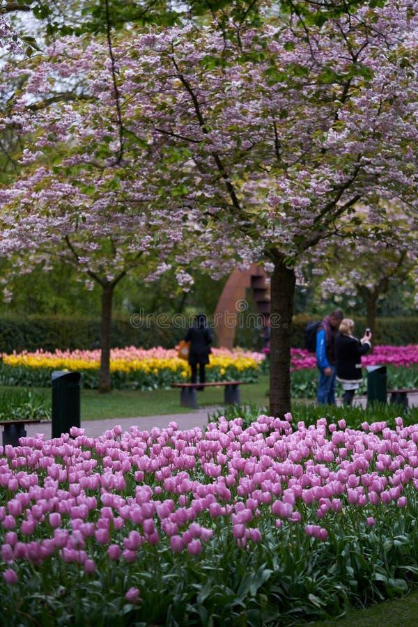 Το ανθίζοντας δέντρο κερασιών στο πάρκο στοκ φωτογραφίες