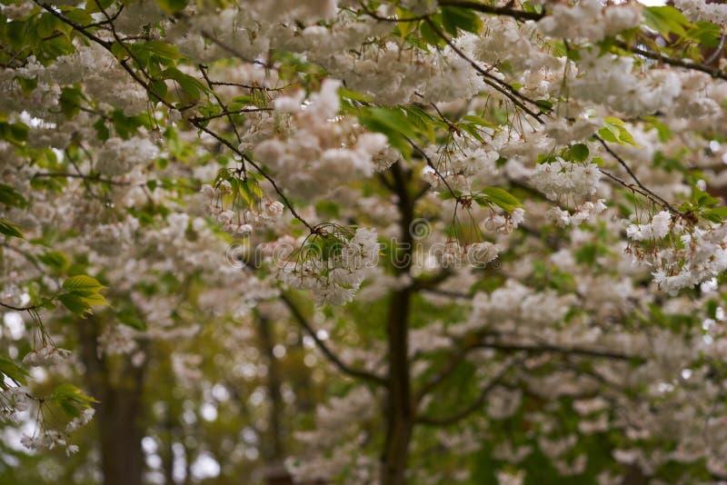 Το ανθίζοντας δέντρο κερασιών στο πάρκο στοκ εικόνες
