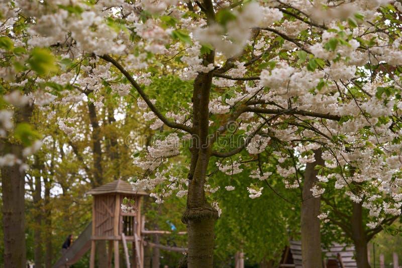 Το ανθίζοντας δέντρο κερασιών στο πάρκο στοκ εικόνα