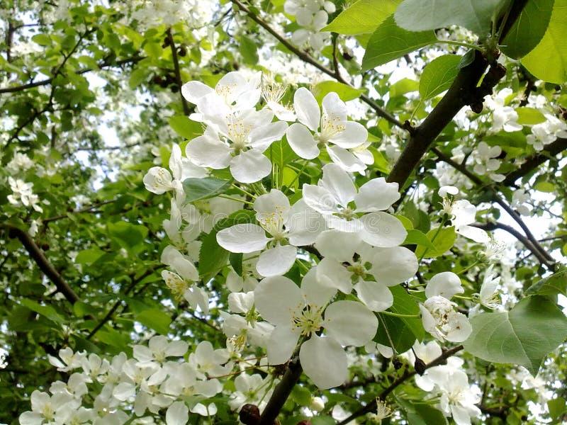 το ανθίζοντας δέντρο μηλιάς άνοιξη την άνοιξη πρασίνων άνοιξη φυλλώματος άνθισης δέντρων άνθισης ανθίζει ανθίζοντας δέντρα στοκ φωτογραφίες