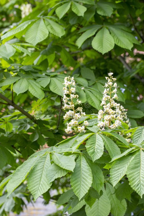 Το ανθίζοντας κάστανο, άσπρο κερί κώνων του κάστανου ανθίζει, ωοθήκη λουλουδιών και φύλλων των φρούτων κάστανων αλόγων στοκ εικόνες με δικαίωμα ελεύθερης χρήσης