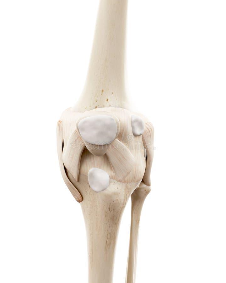 Το ανθρώπινο σκελετικό γόνατο ελεύθερη απεικόνιση δικαιώματος
