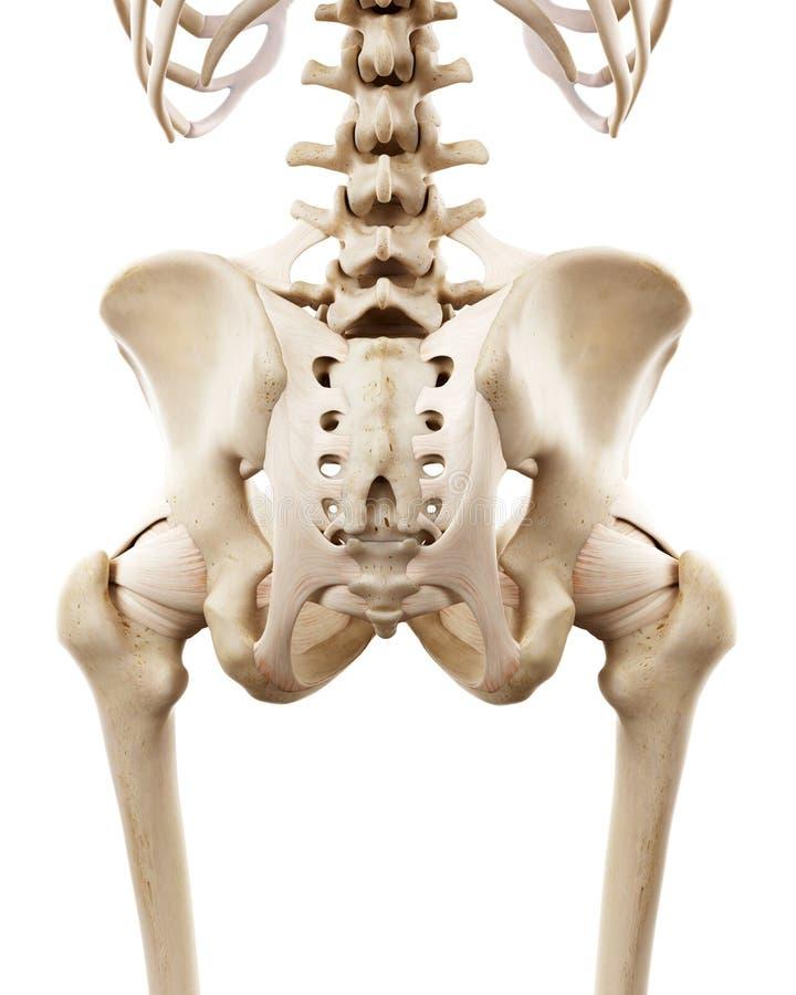 Το ανθρώπινο σκελετικό ισχίο ελεύθερη απεικόνιση δικαιώματος