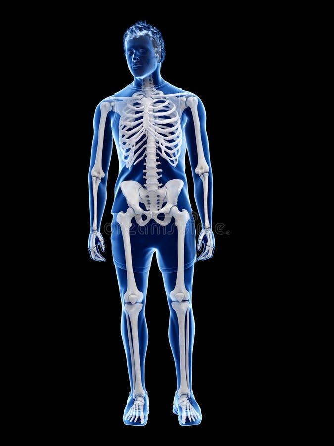 Το ανθρώπινο σκελετικό σύστημα απεικόνιση αποθεμάτων