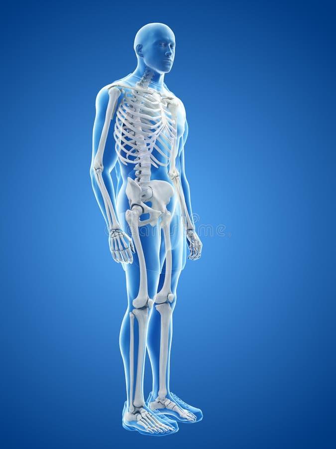 Το ανθρώπινο σκελετικό σύστημα ελεύθερη απεικόνιση δικαιώματος