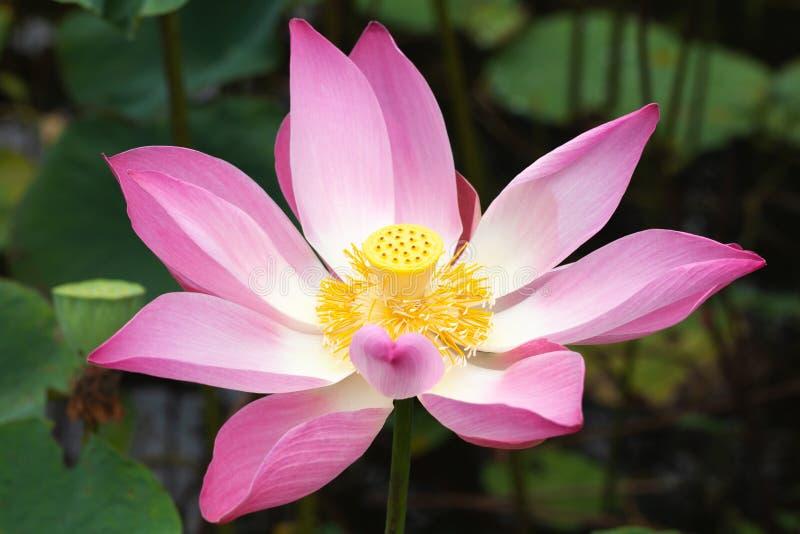 Το ανοικτό ροζ ανθίζει waterlily Lotus στοκ φωτογραφίες