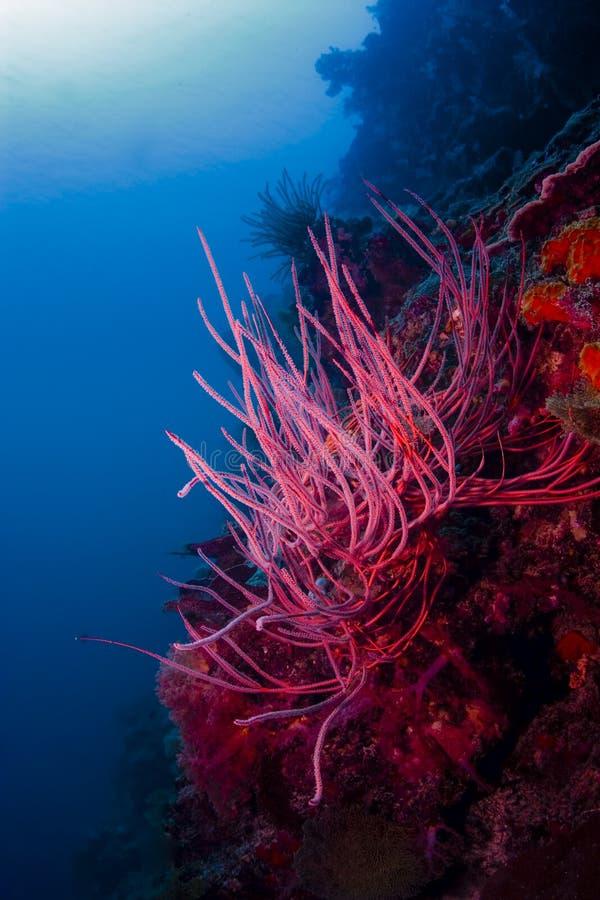 Το ανοιχτό κόκκινο κτυπά την κοραλλιογενή ύφαλο υποβρύχια στον ωκεανό στοκ φωτογραφία